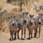 Zebra at Tarangire
