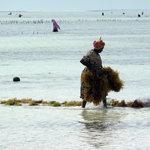Matemwe: raccolta delle alghe
