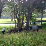 oxen on the golf course