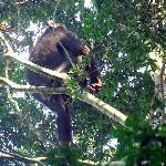 Chimp in the Kyambura Gorge