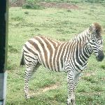 Zebra Up Close and Personal