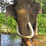 Elephant Orphanage oldest inmate at 60 years.