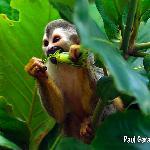 Squirrel monkey near the pool