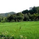 Rice Fields at backyard