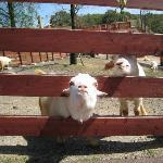 エサを求めるヤギ