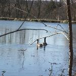 Geese on the pond,