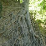 Very neat tree growing- exposed roots