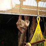 The Playa Bluff Lodge sloth