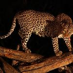 Leopard is coming every evening for his food