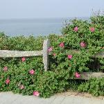 Roses (Rosa rugosa), Nauset Light Beach, Eastham