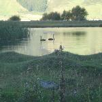 Black swans next to the road from Mt. Aspiring to Wanaka