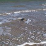 Sea Turtle returning to gulf after freeze