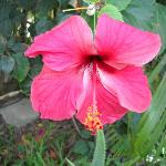 Mexican Hibiscus are abundant at the gradens.