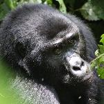 Gorilla up close(2)