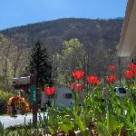 Tulips & a View of The Mountain at The Alamo Motel and Cottages
