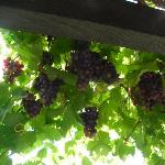 Grapes in the garden