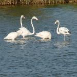 Wild flamingos in the lagunes next door
