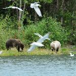 Kenai  River  Grizzlies