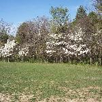 The dogwoods in full bloom