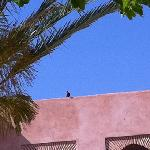 Pigeon au Tikida Golf Palace