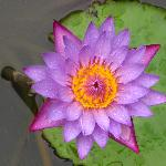 Water lily at Jiwa Damai Retreat Bali