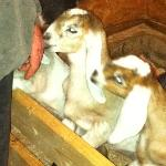 The baby goats