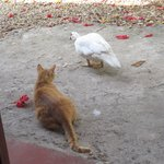 Resident duck and cat at Palapas Tulum