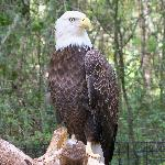 Bald Eagles at the Brookgreen Gardens Zoo