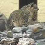 Snow leopard at the wildlife park minutes away from here