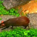 An agouti below the veranda at Asa Wright Nature Center