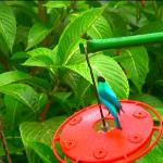 A green honeycreeper on a feeder. These delightful birds were a common sight.