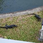 The monitor lizards that live at the lake of the hotel