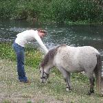 Miniature horses keep the grass down