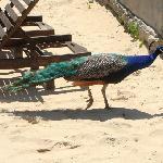 Peacock down on the beach