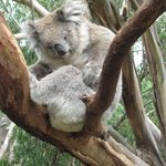 Phillip Island Nature Parks - Koala Conservation Centre
