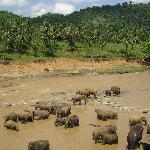 Elephants at pinnewala