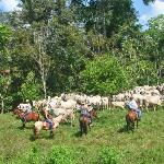 cattle working tours goes once a week