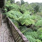 Copious fern trees