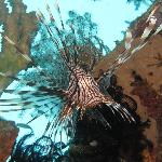 Lion Fish on House reef