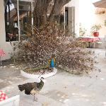 The peacocks enjoyed the resort as well.