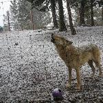 wolf tour
