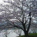 遅咲きの桜がとても綺麗!