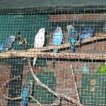 Parakeets in adjacent courtyard