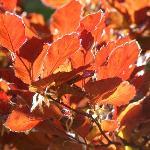 Fagus L. sylvatica L. 'purpureanana'