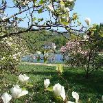 Magnolia and Cherry