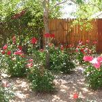 Rose bushes on property
