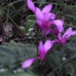 Massen von Cyclamen blühen im Frühling in den Wäldern