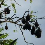 Cat sized fruit bats on Tomia Induk Tour, no worries.. none on resort island