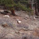 Bighorn sheep on hill next to cabin