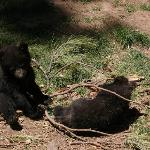 Four very playful bear cubs